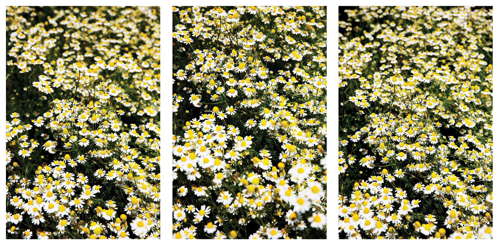 Calming Chamomile Dreams Laurie Lynn Stark Photography