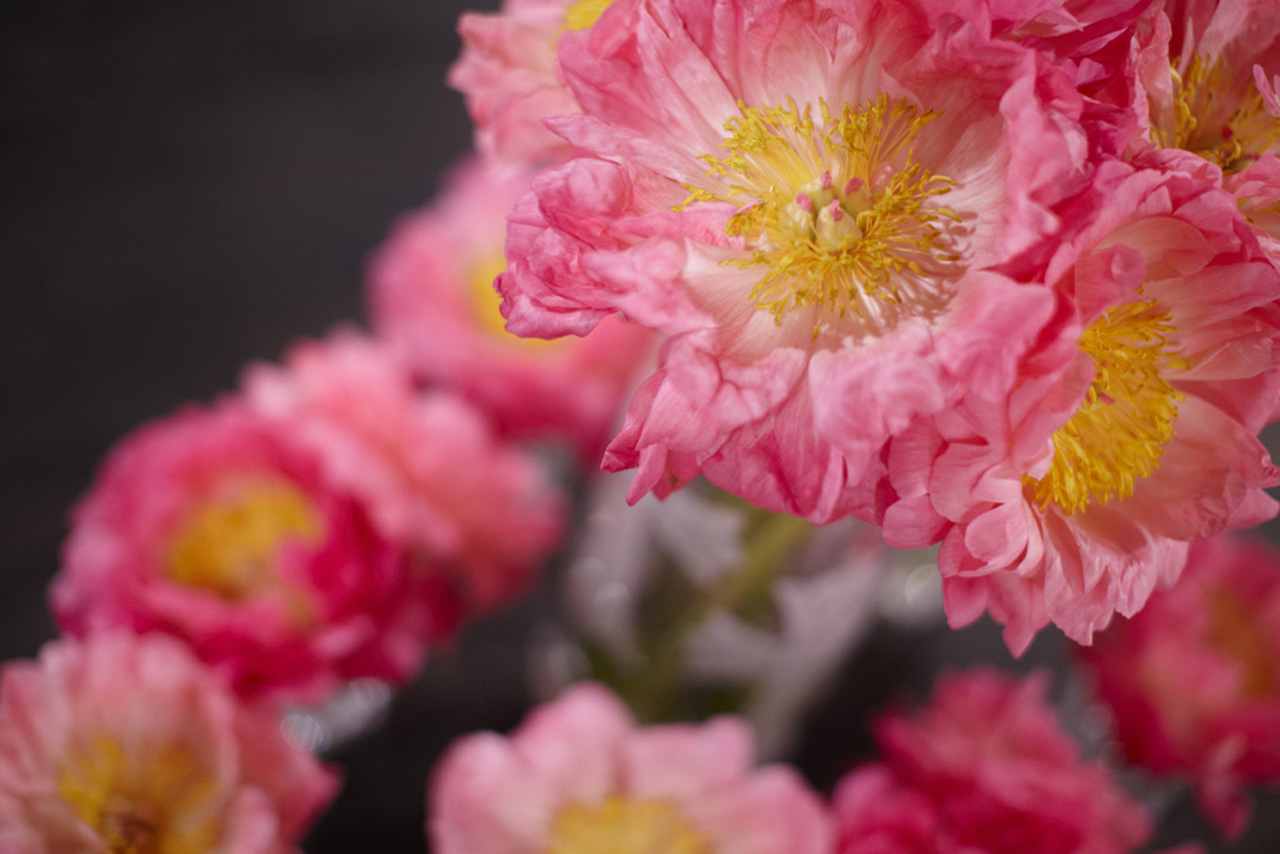 Pink Peonies Hollywood, CA 2013 Photo by Laurie Lynn Stark