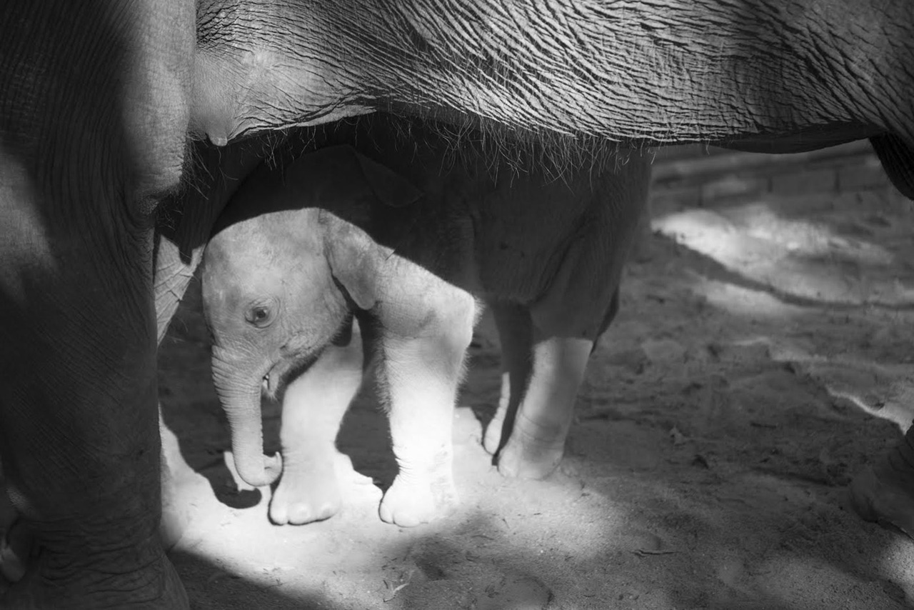 Elephant Calf Thailand, 2013 Photo by Laurie Lynn Stark